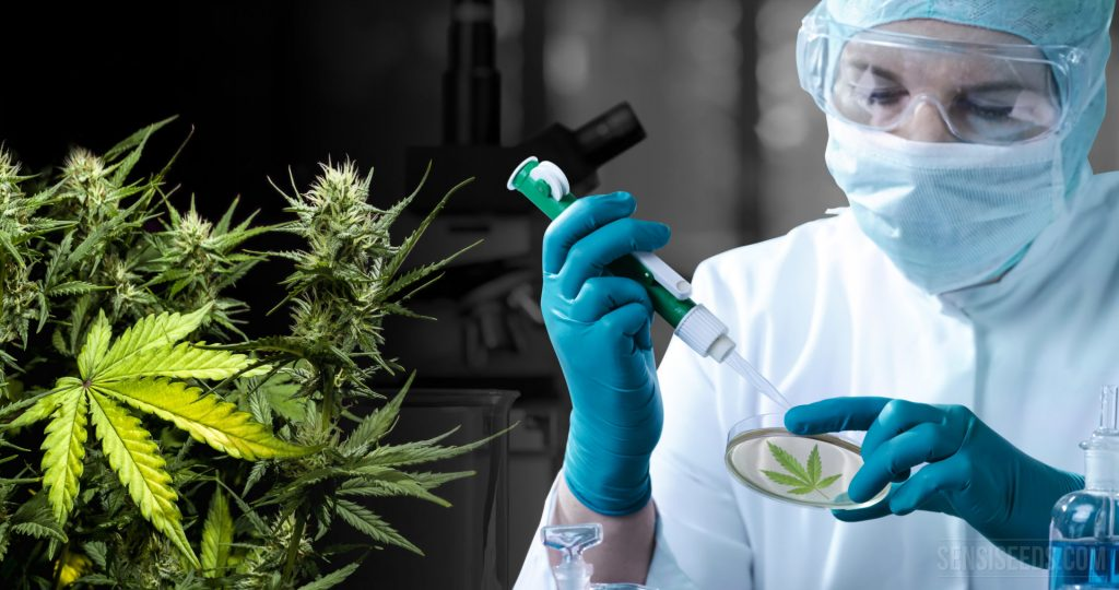 Cannabis vs COVID-19